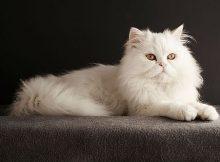 Gambar kucing Persia 2