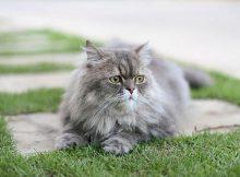 Gambar kucing Persia 3