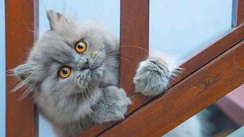 Gambar kucing Persia 4