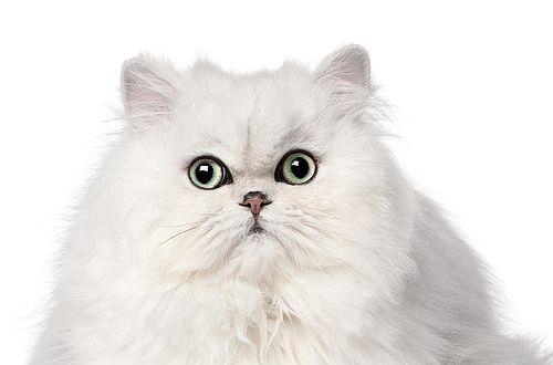Gambar kucing Persia 5