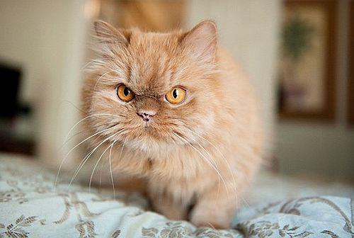 Gambar kucing Persia 6