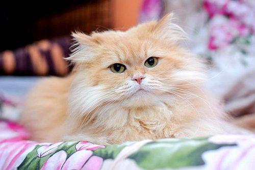 Gambar kucing Persia 7