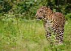 Macan tutul India