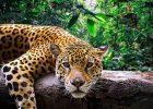 Gambar Jaguar