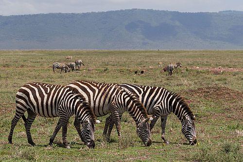 Gambar zebra makan