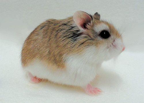 Hamster Kerdil