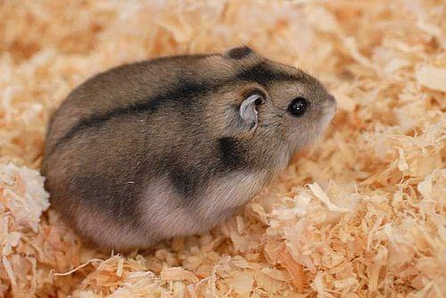 Hamster Rusia
