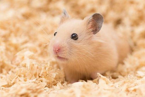 Hamster Suriah