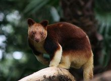 Kanguru Pohon