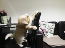 Kucing mencakar perabot