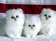 Kucing persia keluarga