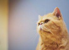 Kucing persia ngiler