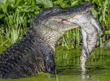 Makanan aligator
