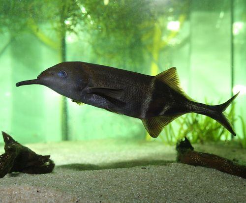 Elephant-nose Fish