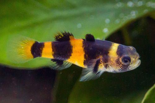 Ikan Bumblebee Goby