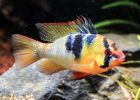 Ikan German Blue Ram