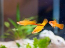 Ikan Swordtail