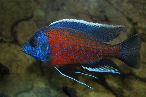 Ikan Red Fin Kadango