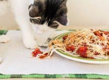 Kucing makan karbo