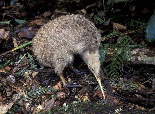 Burung kiwi berbintik kecil