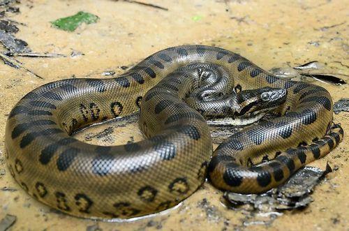 Gambar Ular Anakonda Hijau