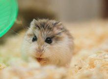 Merawat Hamster
