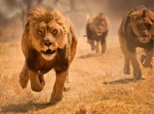 Singa Karnivora