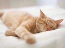 Kucing mimpi
