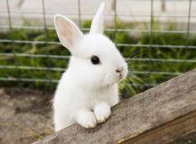 Kelinci cegukan